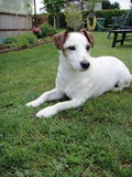 Jack Russel Terrier Stock Photos