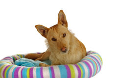 Jack Russel Terrier in a dog bed Royalty Free Stock Image