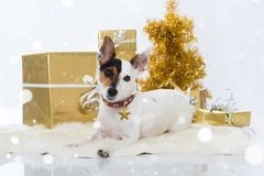 Jack russel terrier dog with christmas decoration Stock Images