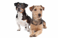 Jack Russel Terrier dog and a mixed breed dog. In front of a white background Royalty Free Stock Photo