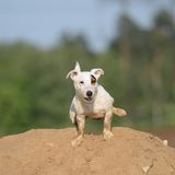 Jack Russel Terrier Dog pees. Royalty Free Stock Image