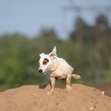 Jack Russel Terrier Dog pees. Royalty Free Stock Photos