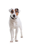 Jack Russel Terrier dog portrait Stock Images