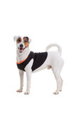 Jack Russel Terrier dog portrait Stock Photo