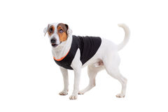 Jack Russel Terrier dog portrait Royalty Free Stock Photography