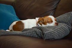 Jack Russel Terrier Dog que coloca dormir Imagenes de archivo
