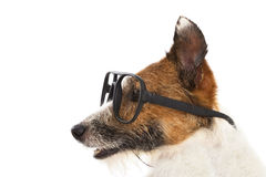Jack russel terrier dog  wearing glasses Royalty Free Stock Image