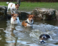 Jack Russel Terrier dogs playing in a pond Royalty Free Stock Photography