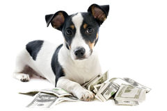 Jack russel terrier with dollars Stock Images