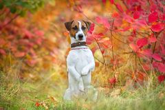 Jack russel terrier in fall park Stock Images