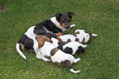 Jack Russel Terrier family Stock Photo