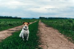 Jack russel terrier on field road. Happy Dog with serious gaze Stock Image