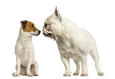 Jack russel terrier and French bulldog  sniffing each other Royalty Free Stock Image
