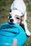 Jack russel terrier. With frisbee Stock Image