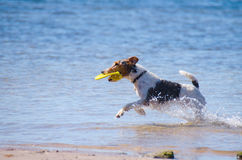 Jack Russel Terrier with a frisbee at the beach. A Jack Russel Terrier running through the water with a frisbee at the beach on a sunny morning Stock Image