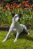 Jack Russel Terrier in front of tulips. A female Jack Russel Terrier is half sitting in the grass in front of orange and red tulips Stock Images