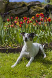 Jack Russel Terrier in front of tulips. A female Jack Russel Terrier lying in the grass in front of orange and red tulips Stock Photography