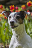 Jack Russel Terrier in front of tulips. A female Jack Russel Terrier sitting in the grass in front of orange and red tulips Stock Photo