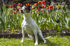 Jack Russel Terrier in front of tulips. A female Jack Russel Terrier sitting in the grass in front of orange and red tulips Stock Image