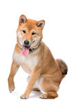 Jack Russel Terrier Royalty Free Stock Image
