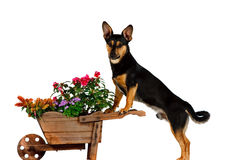 Jack Russel Terrier is gardening Stock Photography
