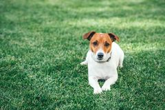 Jack russel terrier on green lawn. Happy Dog with serious gaze Royalty Free Stock Photos