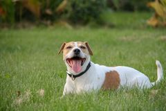 Dog is having fun on a summer field full of green grass. Jack Russel terrier is having fun stand, play, lay on a summer field full of green grass royalty free stock images