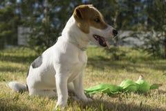 Jack Russel Terrier-het spelen met stuk speelgoed Stock Foto's
