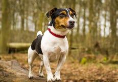 Jack Russel Terrier hund som poserar i skogen arkivbild