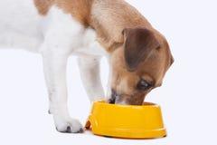 Jack Russel-Terrier isst Stockfotos