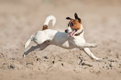 Jack russel terrier. Run fast on sand Stock Image