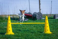 Jack russel terrier jumps over hurdle. Cute jack russel terrier jumps over hurdle on a playground for dogs Stock Photography