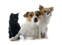 Jack russel terrier kitten and chihuahua Stock Photography