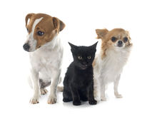 Jack russel terrier kitten and chihuahua Royalty Free Stock Images