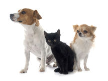 Jack russel terrier kitten and chihuahua Royalty Free Stock Photography