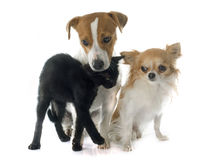 Jack russel terrier kitten and chihuahua Stock Image