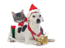 Jack russel terrier and kitten Royalty Free Stock Photography