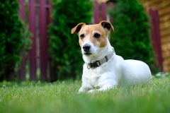 Jack russel terrier on lawn near house. Happy Dog with serious gaze Stock Photography
