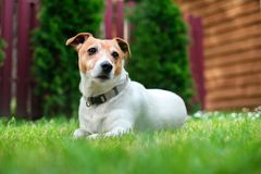 Jack russel terrier on lawn near house. Happy Dog with serious gaze Royalty Free Stock Image