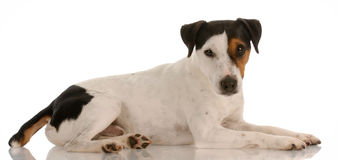 Jack russel terrier laying down Stock Image
