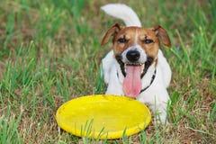 Jack Russel-Terrier legt auf das Gras mit gelber Plastikscheibe Lizenzfreies Stockfoto