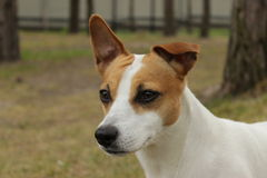Jack Russel Terrier. Loyal Dog Jack Russel Terrier Stock Images