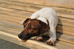 Jack russel terrier lying Royalty Free Stock Image