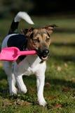 Jack Russel Terrier met schop Royalty-vrije Stock Afbeeldingen