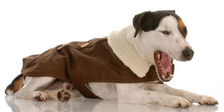 Jack russel terrier with mouth open Stock Images