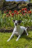 Jack Russel Terrier na frente das tulipas Fotografia de Stock