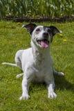 Jack Russel Terrier na grama verde Fotos de Stock Royalty Free