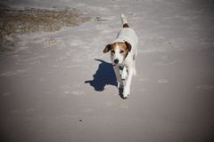 Jack Russel Terrier na praia em Namíbia Imagens de Stock Royalty Free