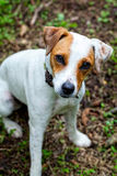 Close Up Of Parson Russell Terrier Puppy Royalty Free Stock Photos