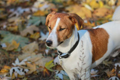 Jack Russel terrier in the park Royalty Free Stock Image